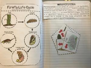 Science ISN: Firefly Life Cycle